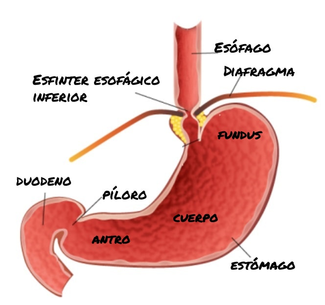 anatomia gastrica