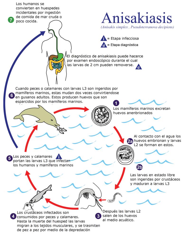 ciclo vida anisakis